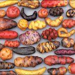 Cosas a las que la religión se opuso por «demoníacas» o «herejes»: la patata